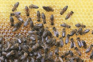Méhpempő fogyasztási tanácsok és méhpempő rendelés