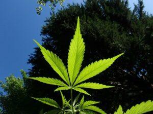 orvosi marihuána